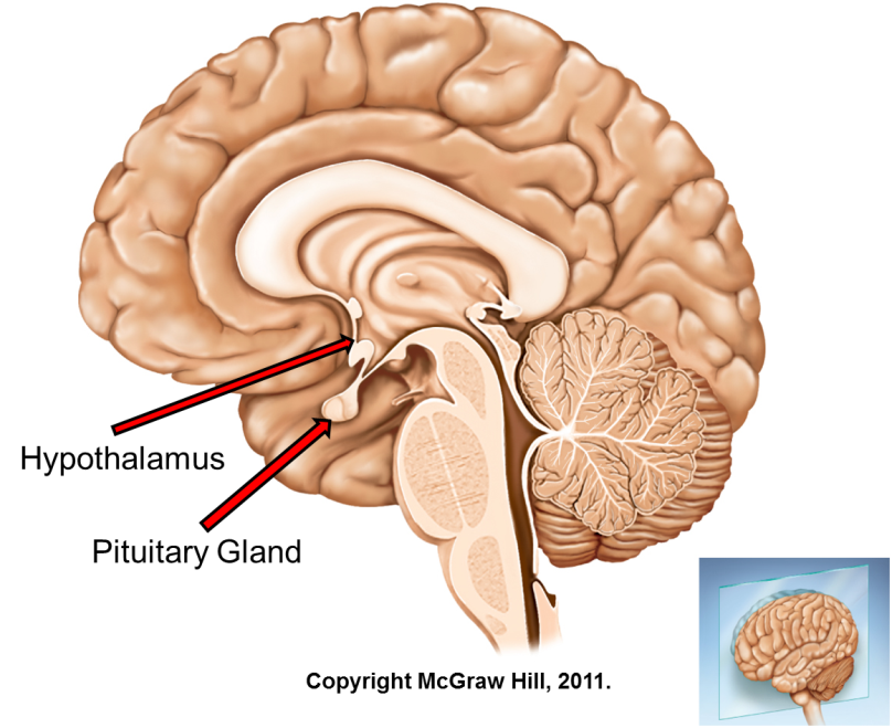 Hypothalamus-Pituitary Hormones and their functions | Time of Care